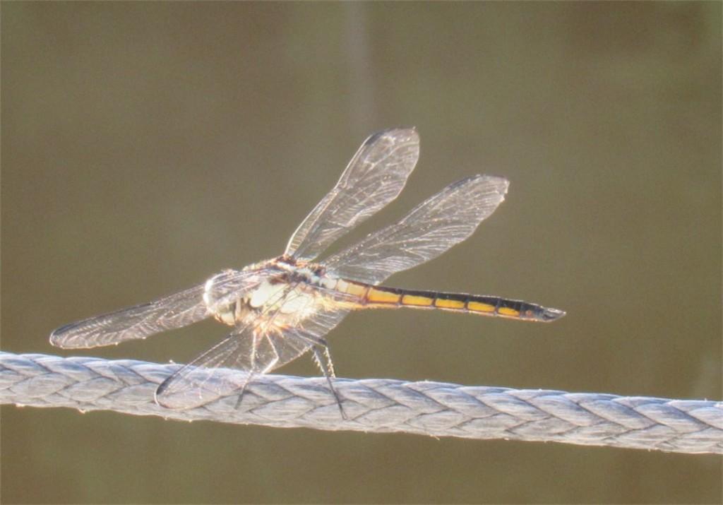 108 dragonfly 1846